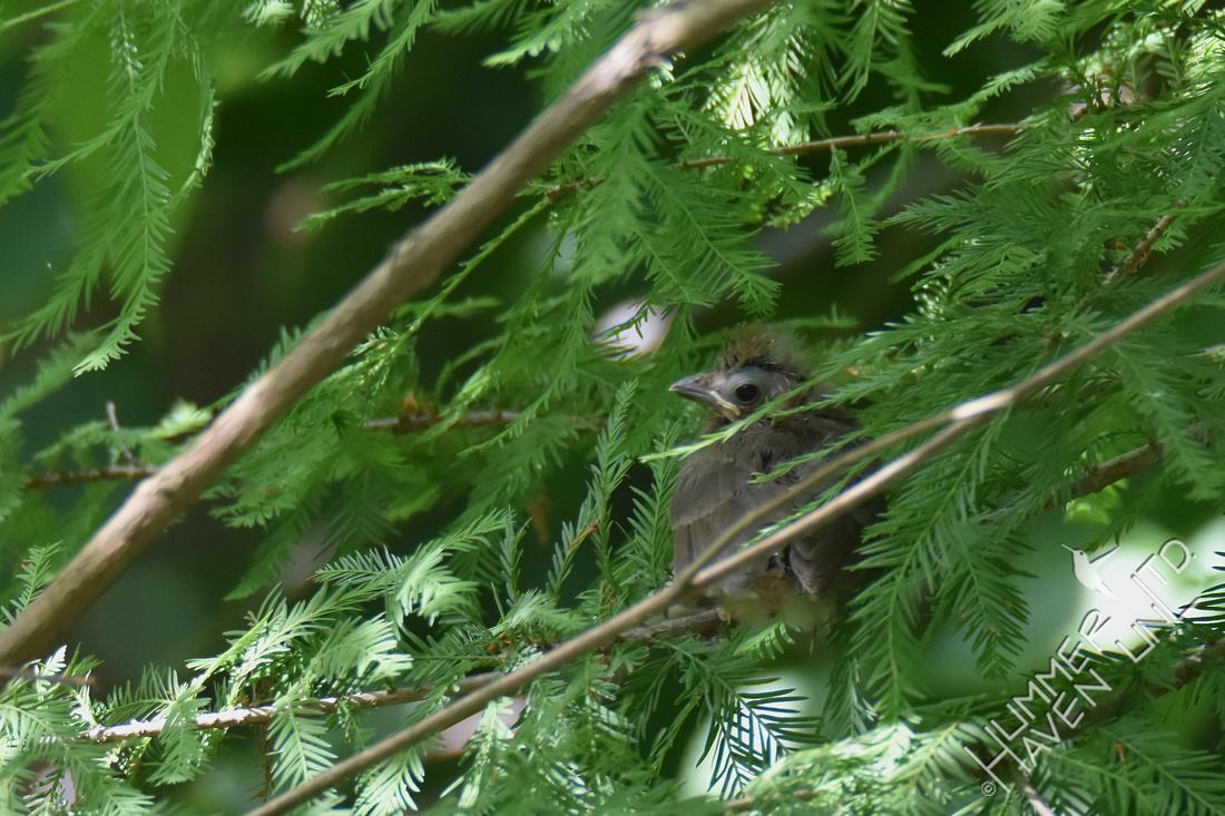 Northern Cardinal fledgling 7-4-17