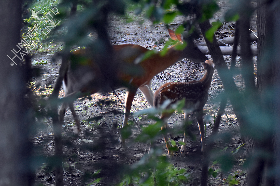 7-12-17 Doe and Fawn at 6:57 am