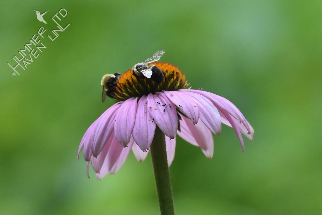 Bumblebees and Ants on Purple Coneflower (Echinacea purpurea) 7-14-17