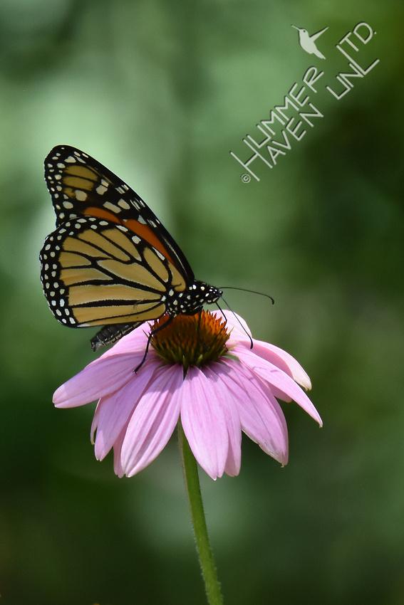 Monarch on Purple Coneflower (Echinacea purpurea) 7-15-17