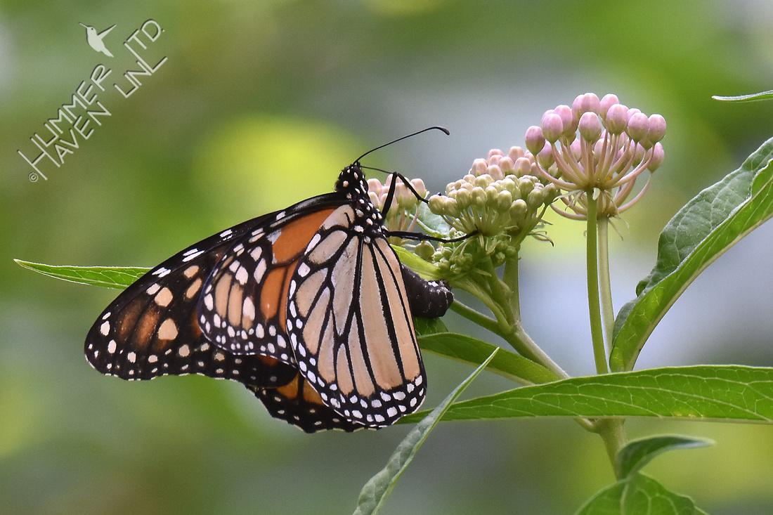 Monarch female lays eggs on Marsh Milkweed 7-28-17