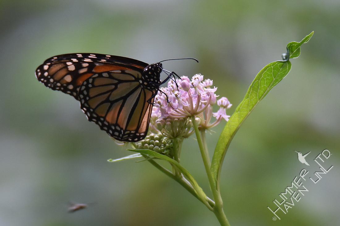 Monarch female nectars on Marsh Milkweed 7-28-17