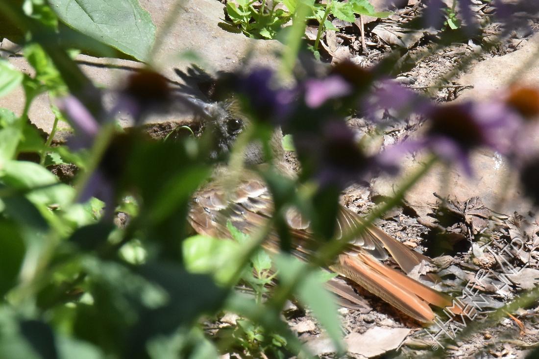 Great Crested Flycatcher sunbathing in garden cover 7-30--17