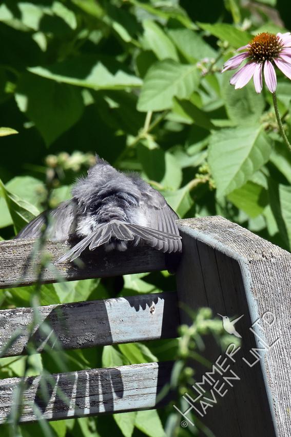 Tufted Titmouse sunbathing on bench 7-30-17