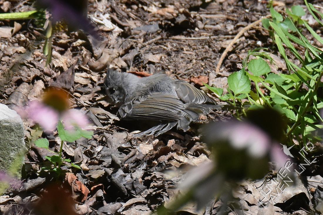 Tufted Titmouse sunbathing in garden cover 7-30-17