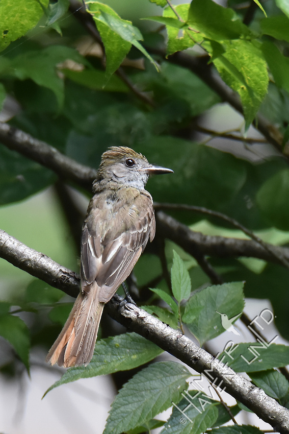 Great Crested Flycatcher 7-25-17