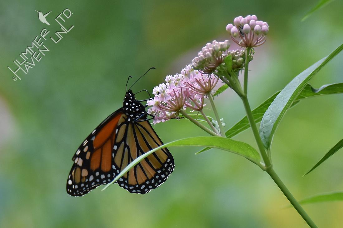Monarch adult and caterpillar on Marsh Milkweed 8-7-17