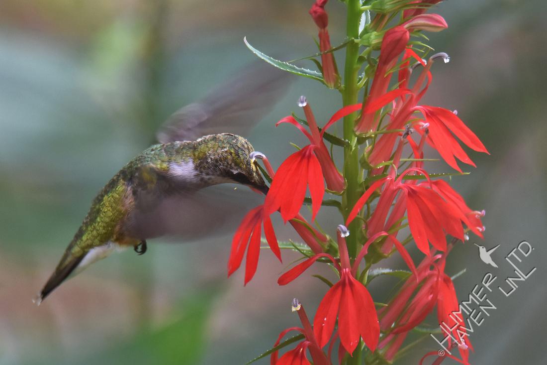 Ruby-throated Hummingbird pollinating Cardinal flower (Lobelia cardinalis) 8-7-17