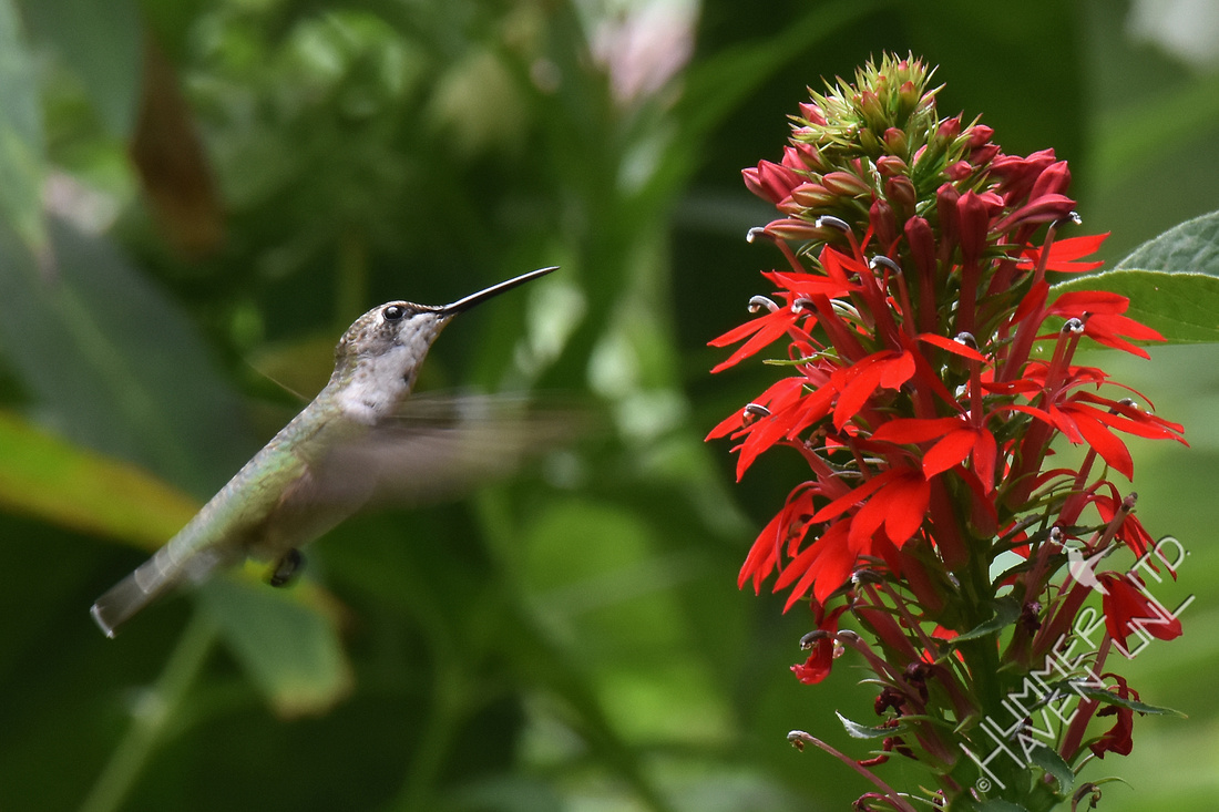 Ruby-throated Hummingbird  at Cardinal flower (Lobelia cardinalis) 8-16-17