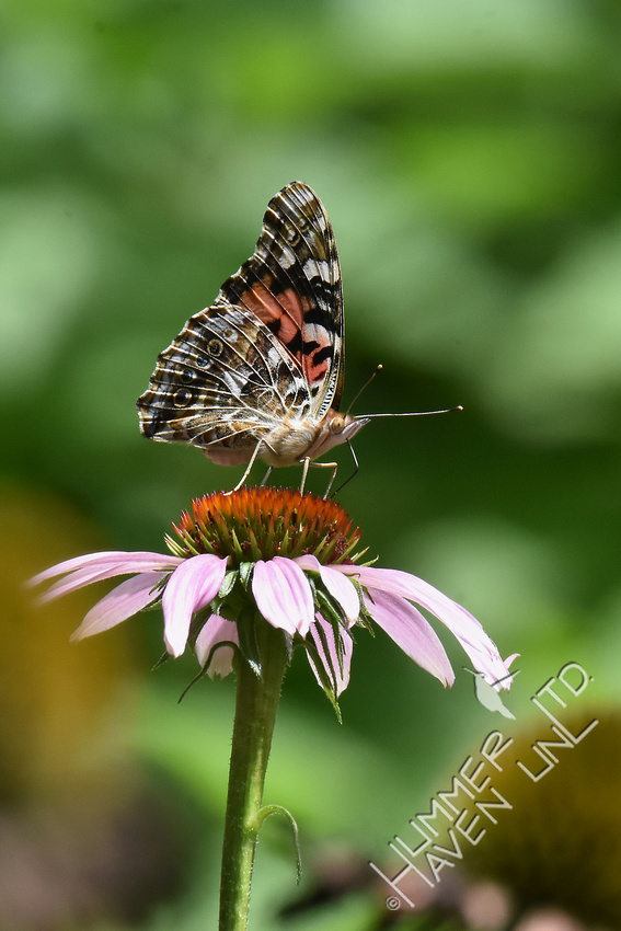Painted Lady on Purple Coneflower (Echinacea purpurea) 8-16-17