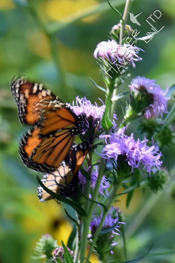 Monarchs mating on Eastern Blazingstar (Liatris scariosa) 8-19-17