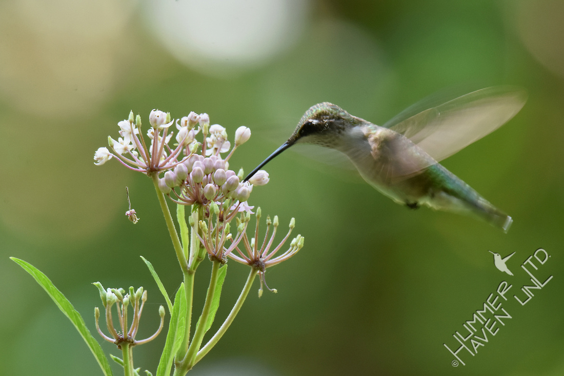 Ruby-throated Hummingbird at Marsh Milkweed (Asclepias incarnata) 8-19-17