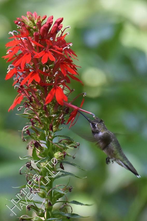 Ruby-throated Hummingbird  at Cardinal flower (Lobelia cardinalis) 8-21-17