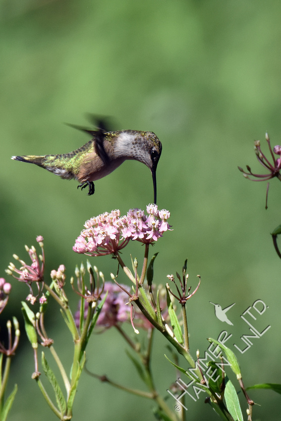 Ruby-throated Hummingbird at Marsh Milkweed (Asclepias incarnata) 8-21-17