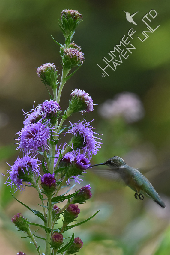 Ruby-throated Hummingbird  at Eastern Blazingstar (Liatris scariosa)  8-21-17