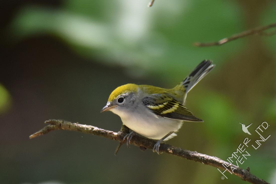 Chestnut-sided Warbler female 8-23-17