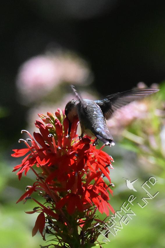 Ruby-throated Hummingbird on Cardinal flower (Lobelia cardinalis) 8-21-17
