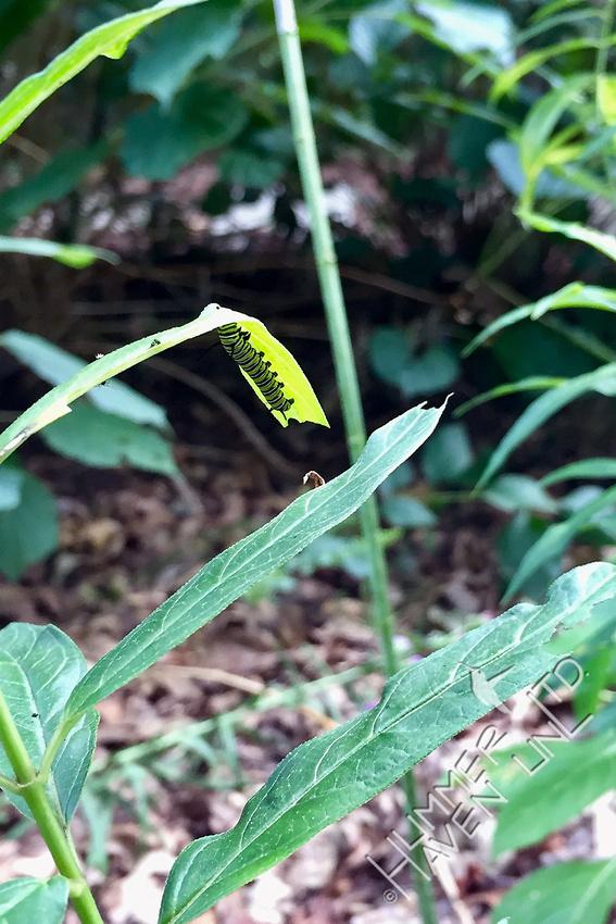 Monarch caterpillar on Marsh Milkweed (Asclepias incarnata) 8-30-17