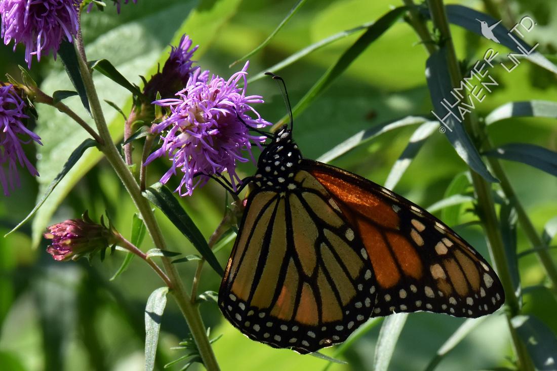 Monarch female on Eastern Blazingstar (Liatris scariosa) 8-30-17