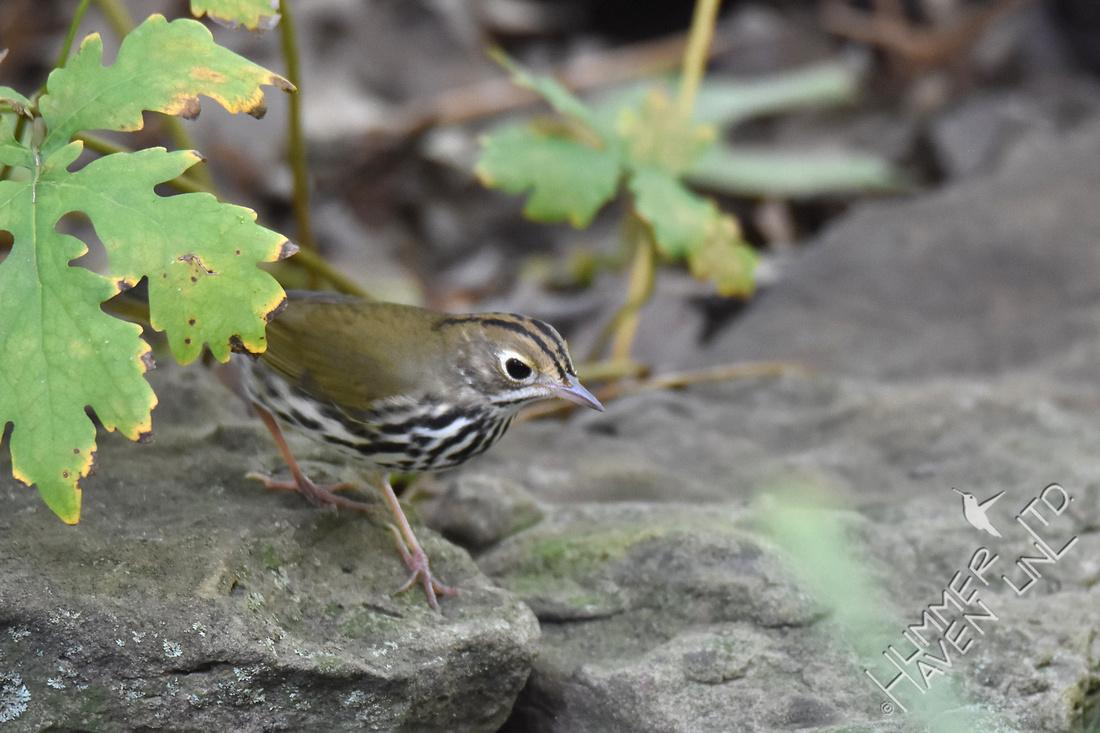 Ovenbird 9-3-17