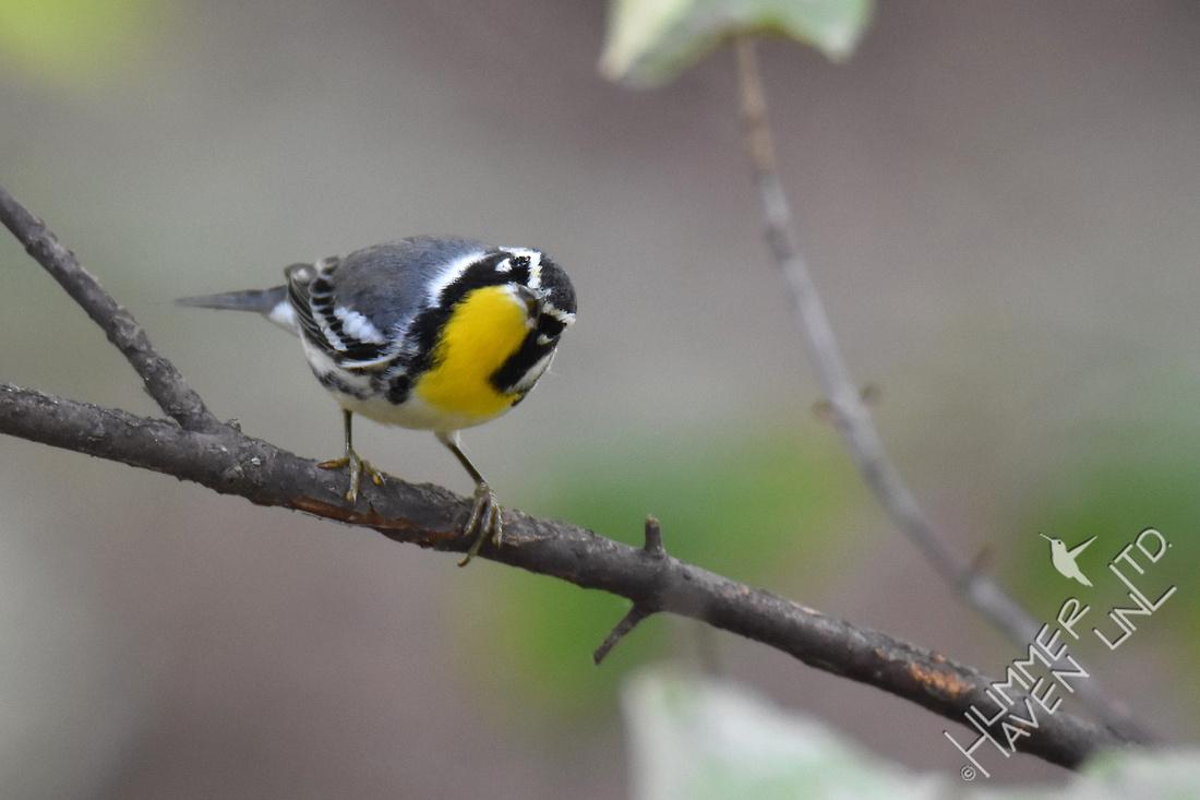 Yellow-throated Warbler 9-3-17 Bubbler Bird #118