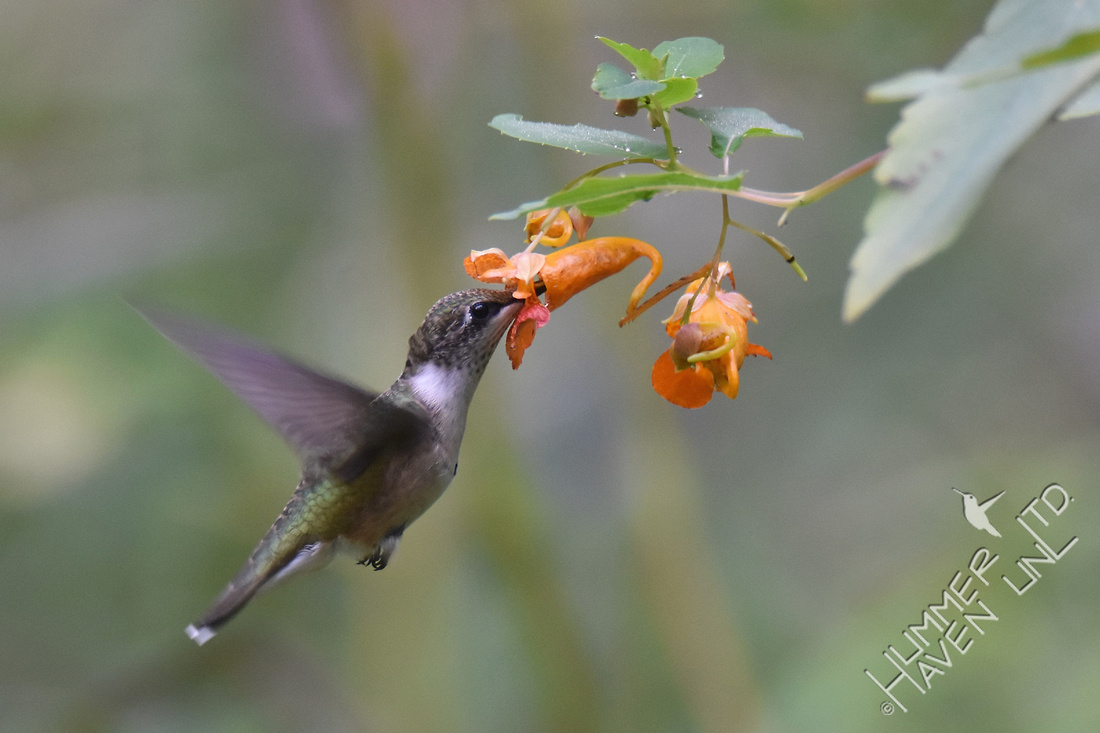 Ruby-throated Hummingbird at Jewelweed (Impatiens capensis)  9-4-17