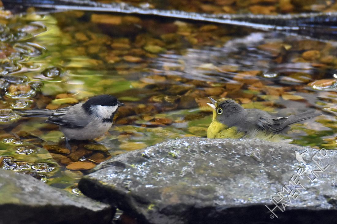 Carolina Chickadee and Canada Warbler female 9-8-17