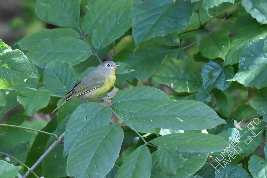 Nashville Warbler on Green Ash (Fraxinus pennsylvania) 9-8-17