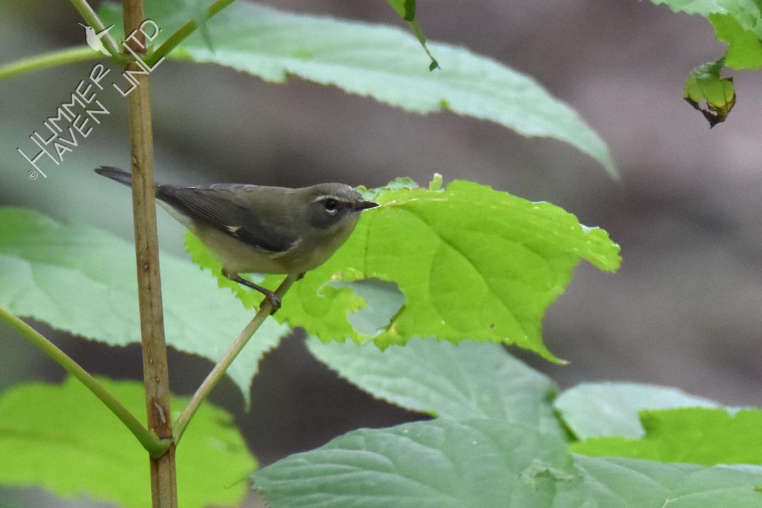 Black-throated Blue female 9-13-17