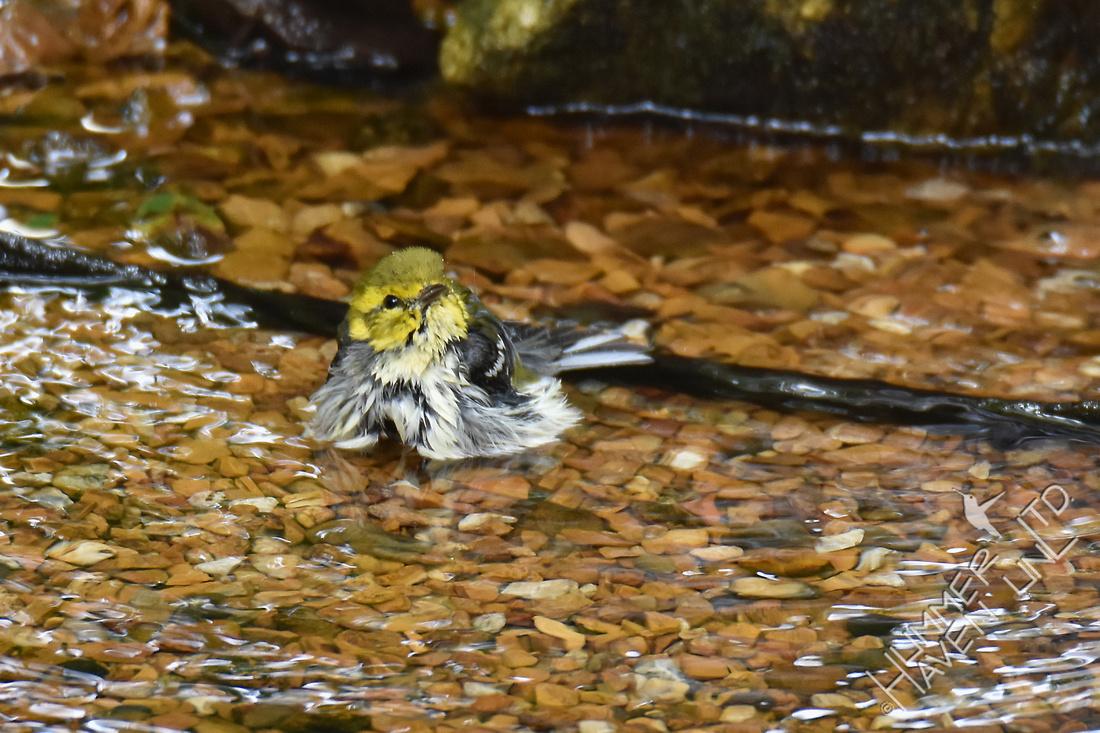 Black-throated Green Warbler 9-13-17