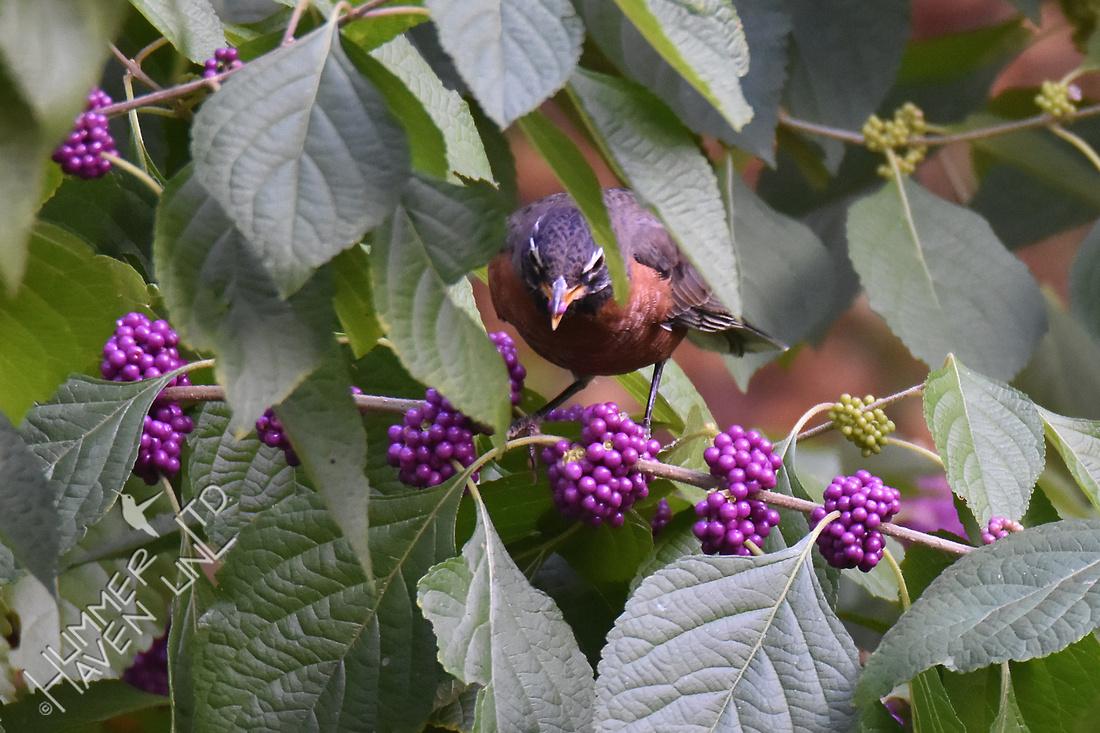 American Robin eating Beautyberry (Callicarpa americana) 9-28-17