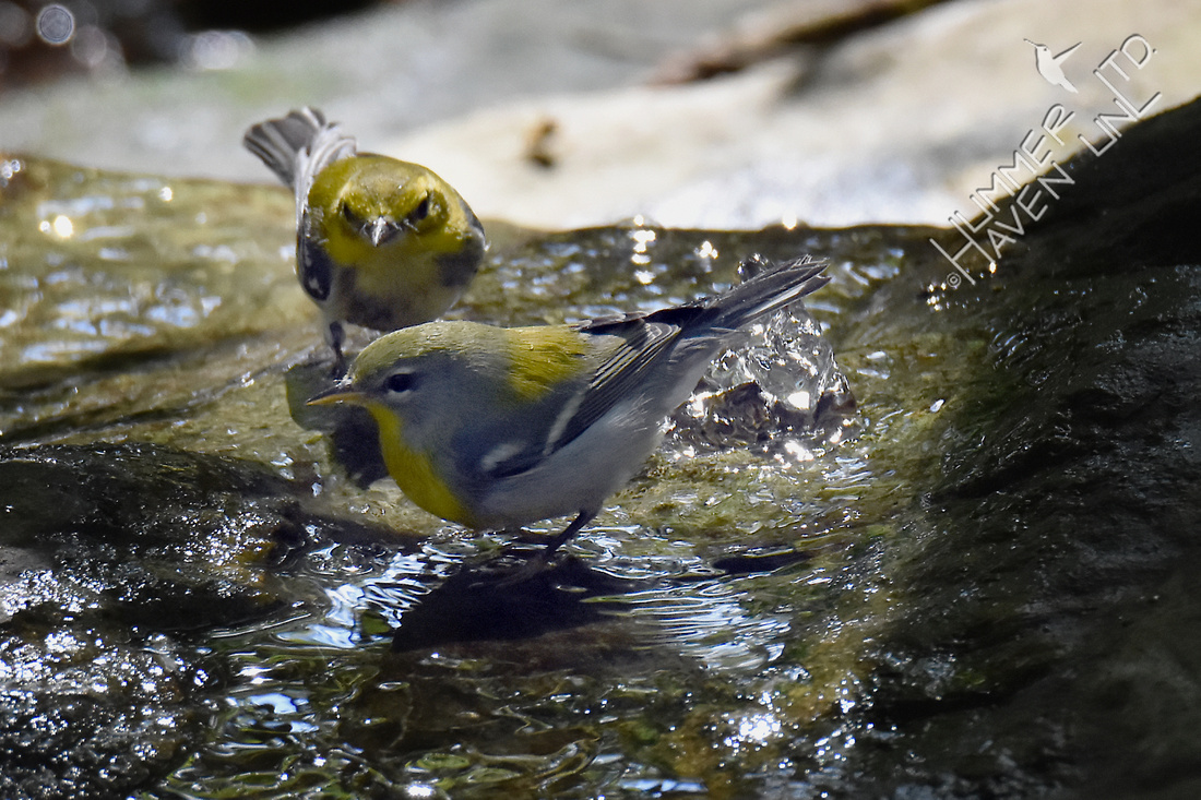 Black-throated Green Warbler and Northern Parula 10-1-17