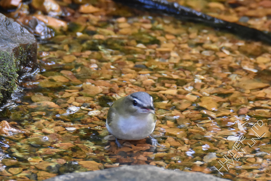Red-eyed Vireo 10-1-17