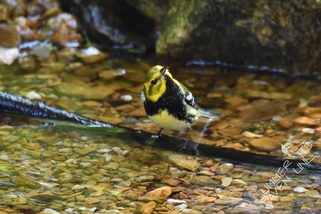 Black-throated Green Warbler 10-2-17