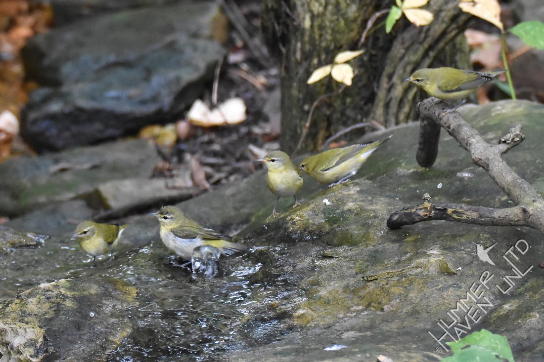 Tennessee Warblers 10-4-17