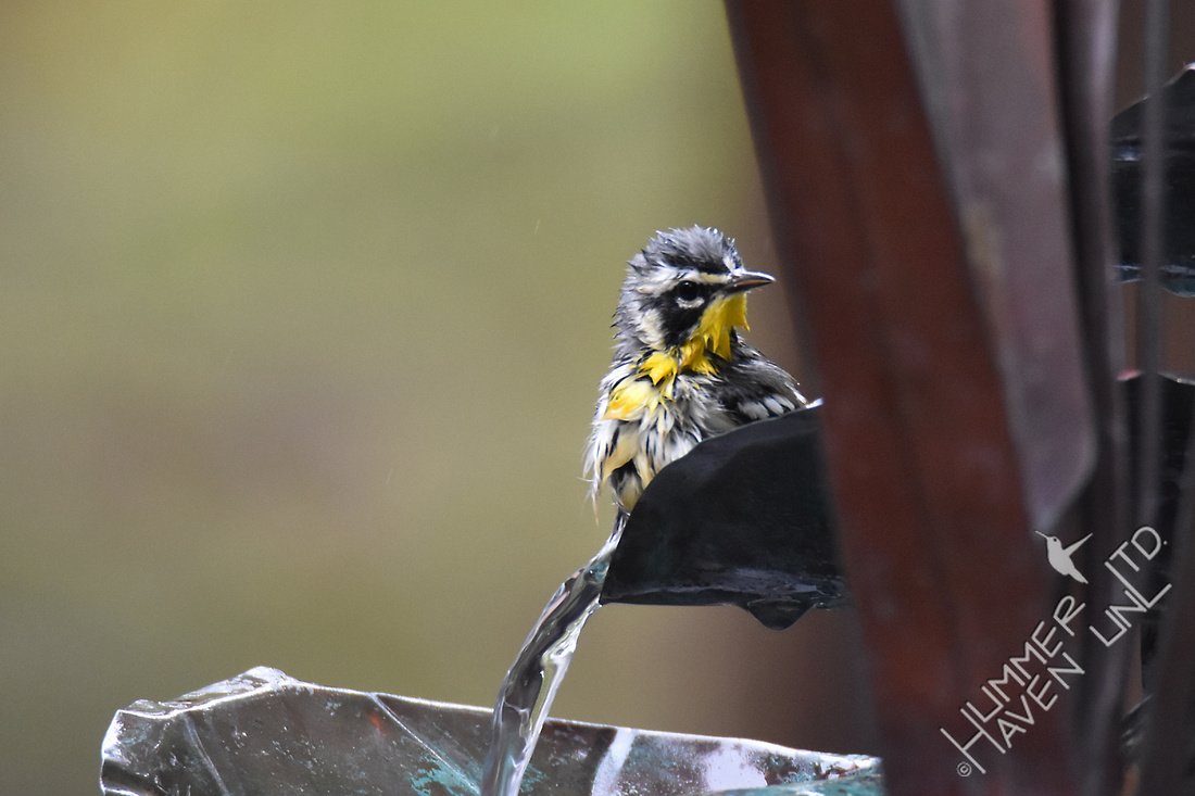 Yellow-throated Warbler 10-5-17