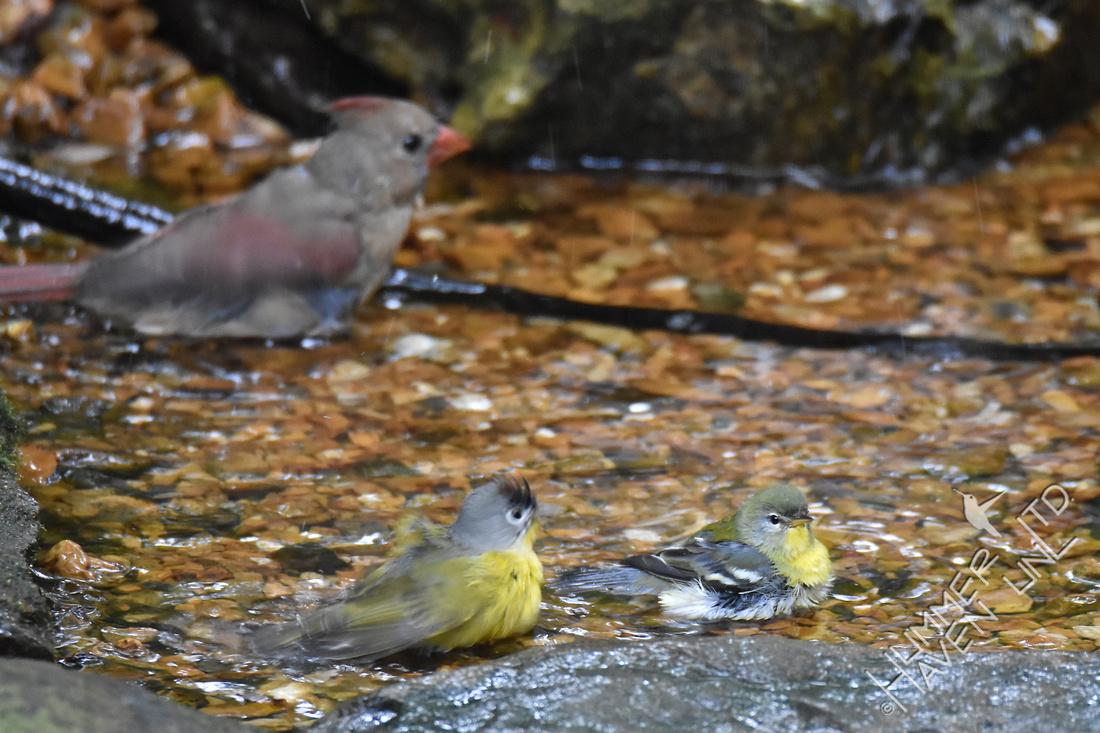 Northern Cardinal, Nashville Warbler and Northern Parula  10-6-17