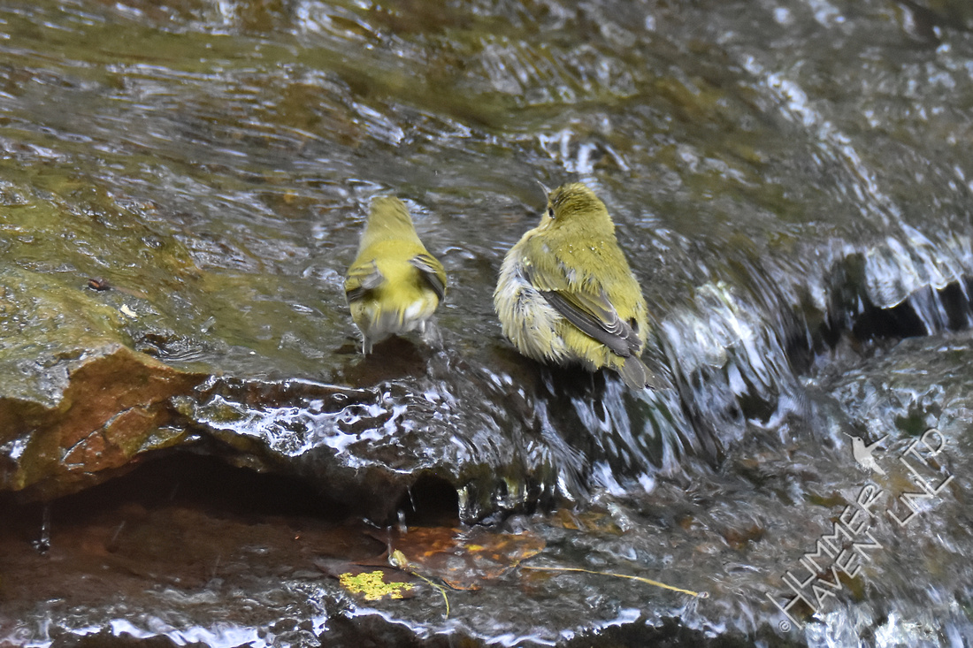 Tennessee Warblers at the pond 10-6-17