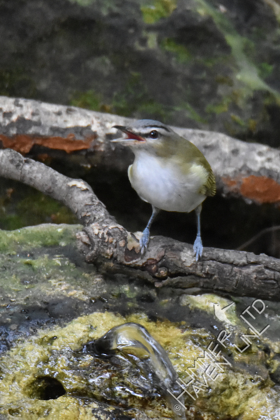 Red-eyed Vireo 10-7-17