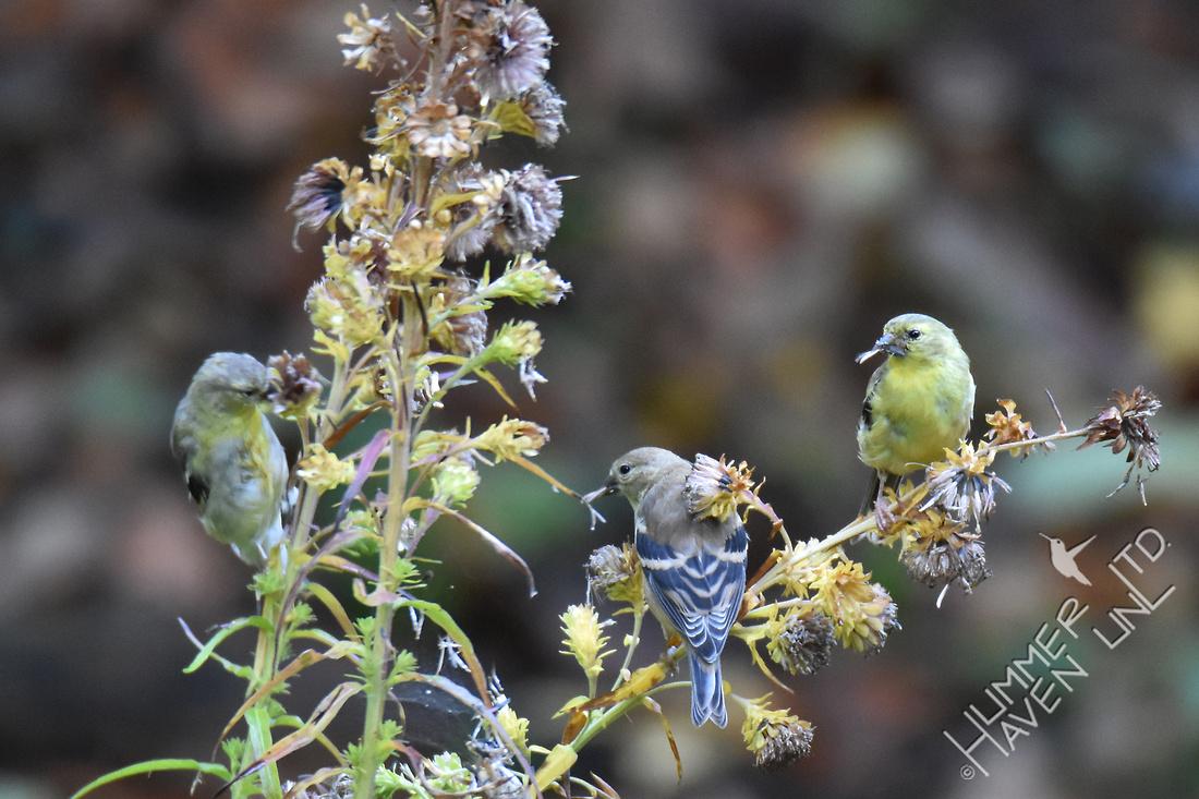 American Goldfinches eating  Eastern Blazingstar seeds (Liatris scariosa) 10-7-17