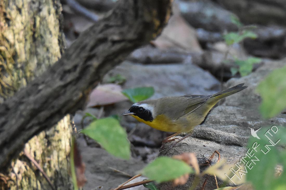Common Yellowthroat 10-8-17