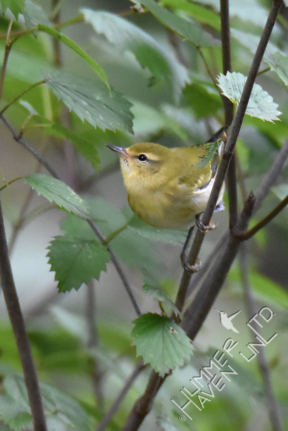 Tennessee Warbler on 'Blue Muffin' Viburnum (Viburnum dentatum)