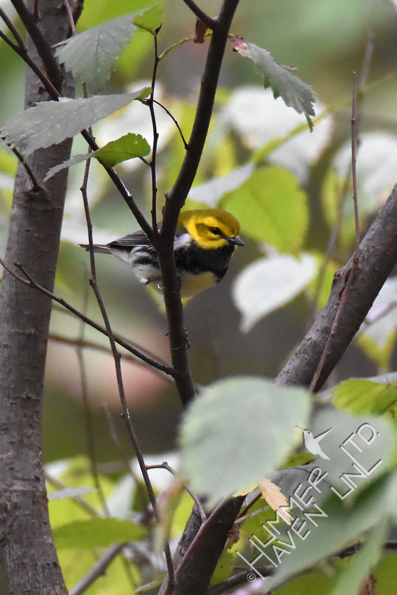 Black-throated Green Warbler in American Elm (Ulmus americana) 10-12-17