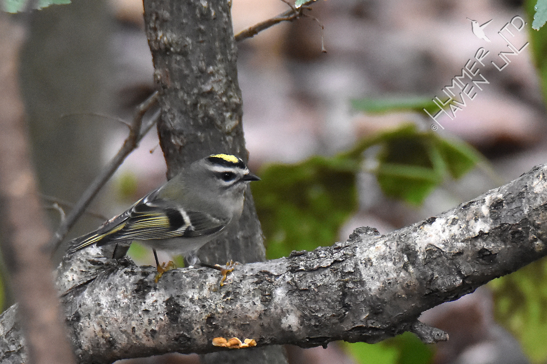 Golden-crowned Kinglet 10-13-17