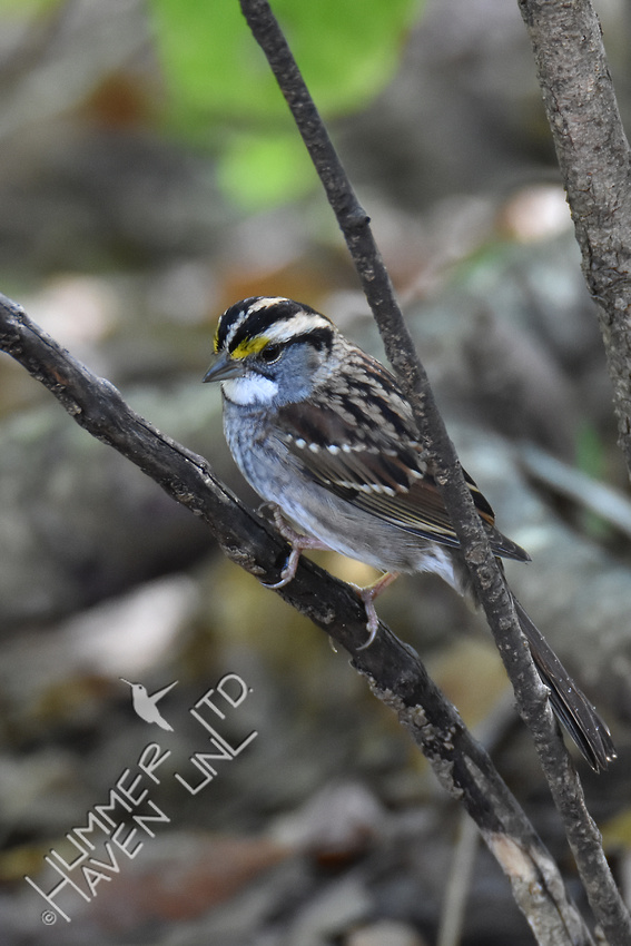 White-throated Sparrow 10-16-17