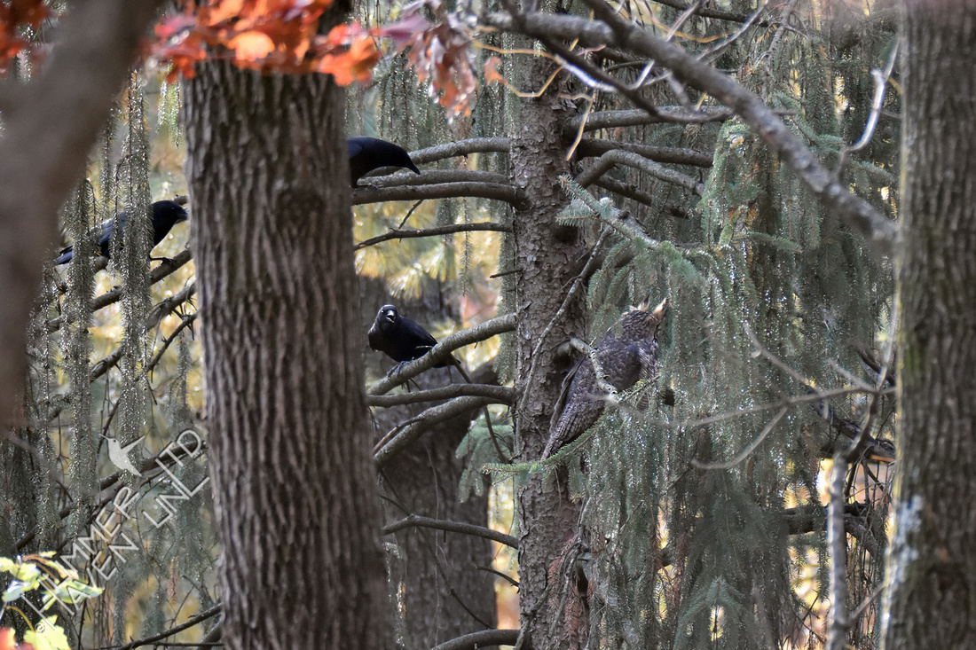 American Crows Harass Great Horned Owl 11 17