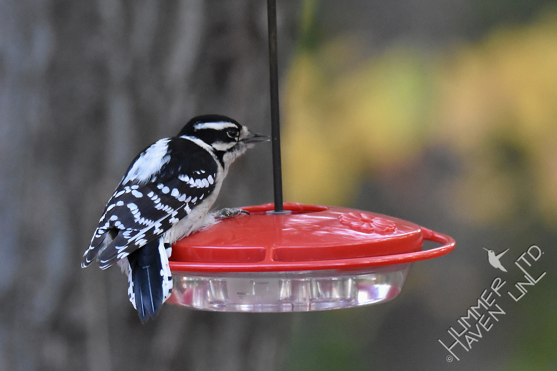 Downy Woodpecker on Hummingbird feeder 11-10-17