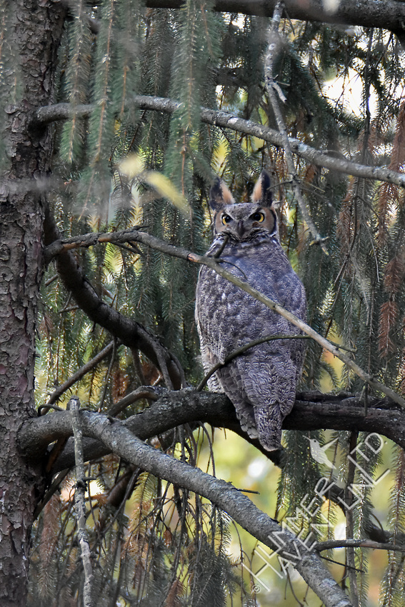 Great Horned Owl 11-11-17