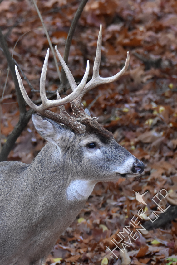 8-point White-tailed Buck 11-19-17