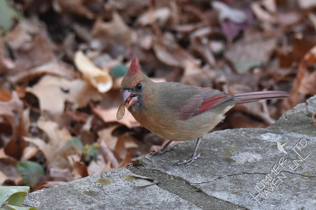 Northern Cardinal eating Sugar Maple seed 11-25-17